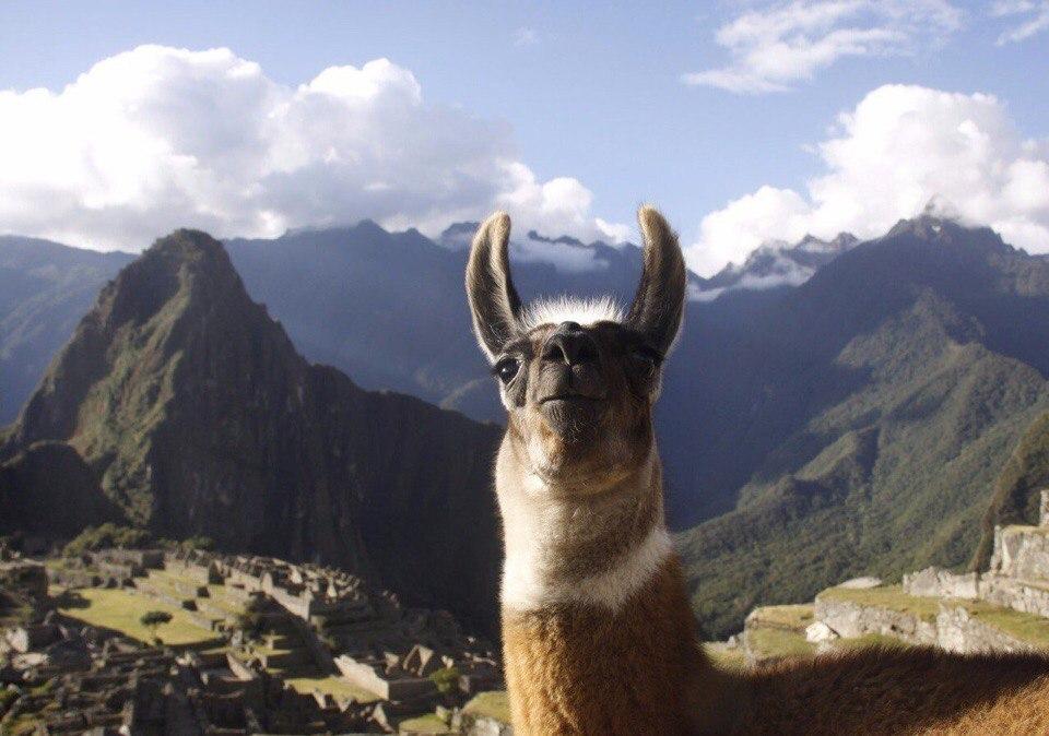 Селфи лам на Мачу-Пикчу